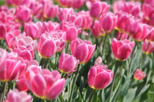 Cherry_Picked_Photos_Tulips_02